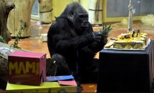 40 éves gorilla